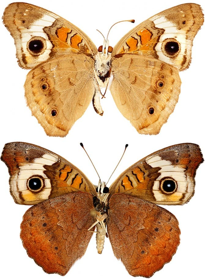 Two Buckeye butterflies shown with spread wings on a white background