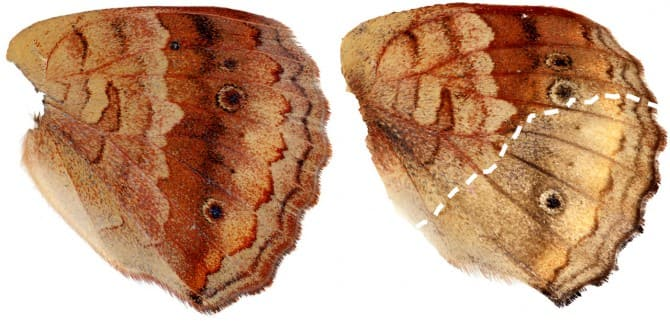 Two buckeye butterfly wings shown on a white background