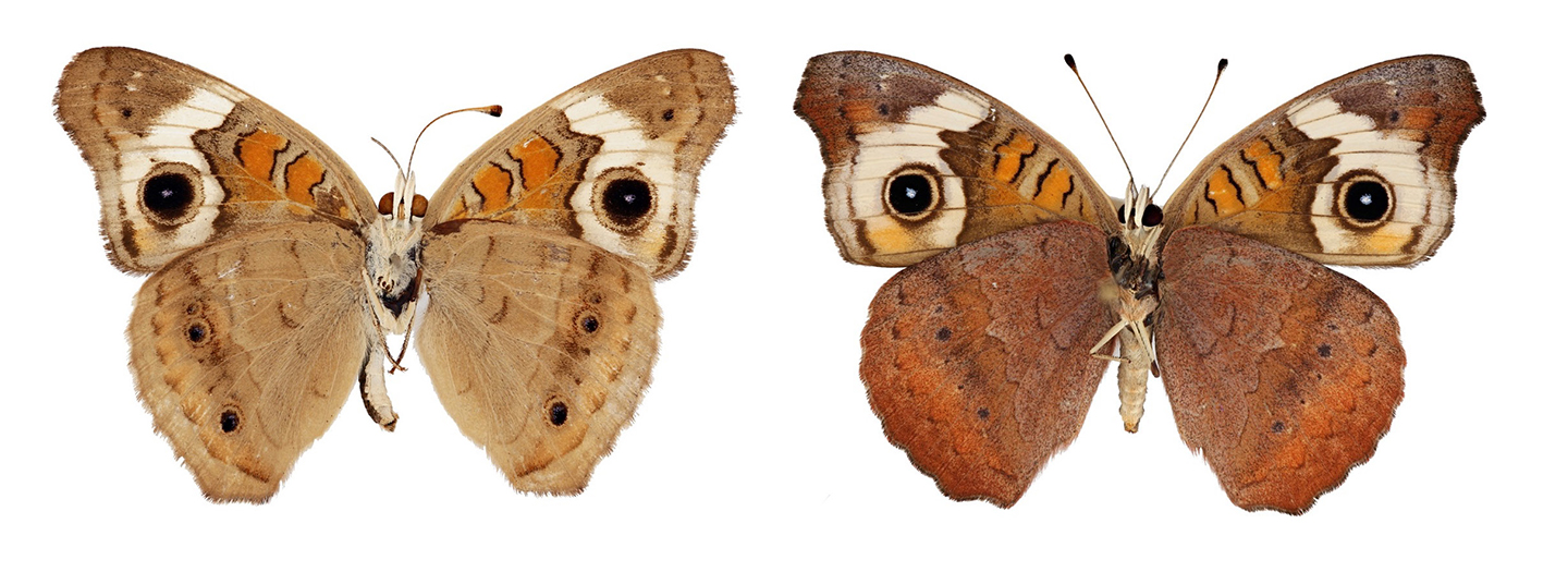 A Buckeye butterfly shown in two different color morphs
