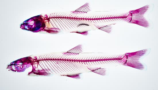 Photo of 2 cleared and stained vertebrates (fish)