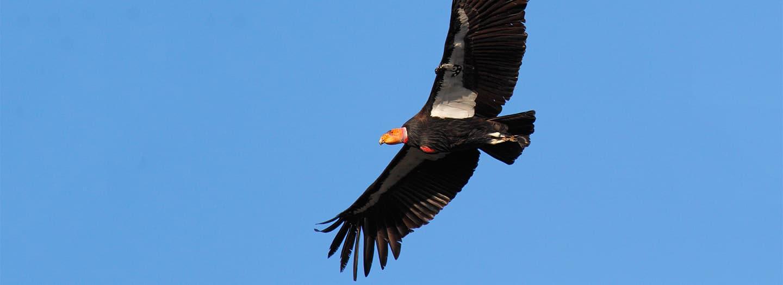 California Condor by Gavin Emmons USFWS 2018