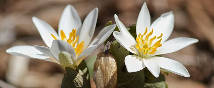 Bloodroot which is a perennial flowering herb native to eastern North America