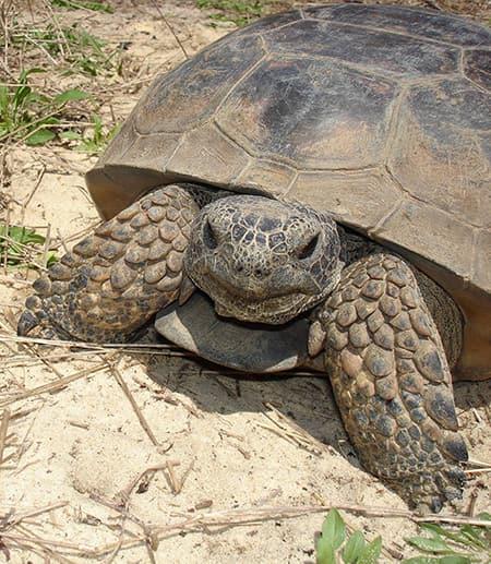 A Gopher Tortoise (Gopherus polyphemus) taken during EEB's Florida Field Course