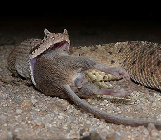 Sonoran sidewinder rattlesnake eating