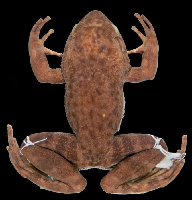 Megaelosia bocainensis, a type of Brazilian frog as seen from above