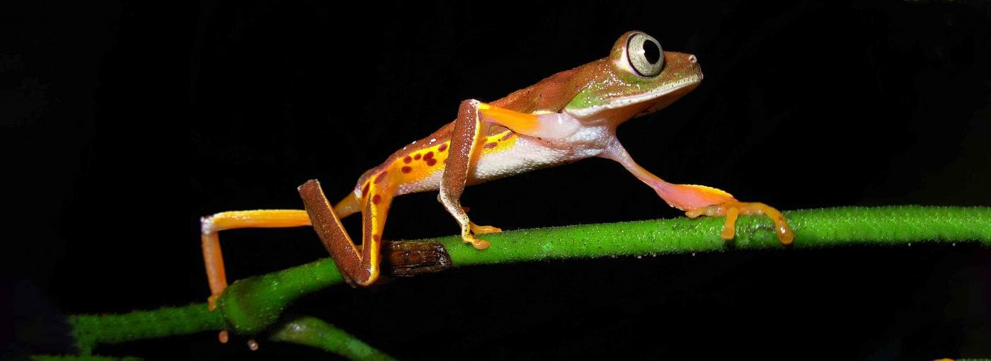 Brazilian tree frog shown on a branch