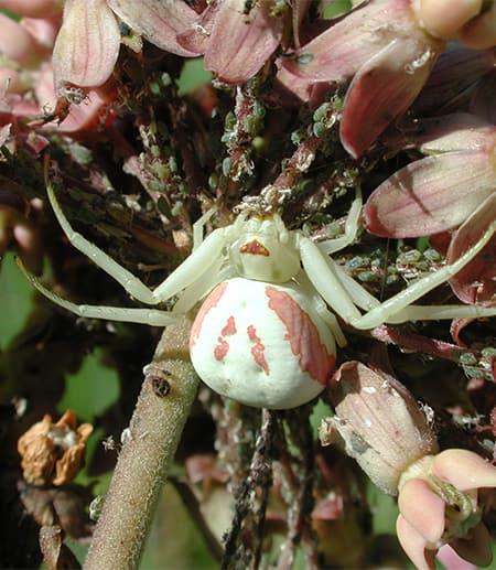 crab spider eating aphis ascelpiadis