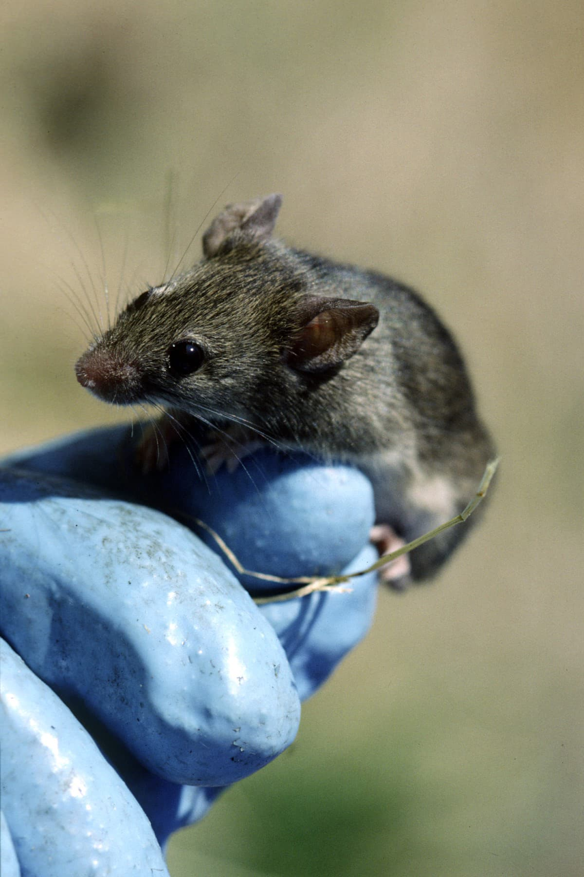 house mouse held in EEB professor Jeremy Searle's hand
